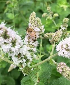 honeybee on mint