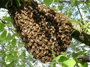 Bee swarm in tree