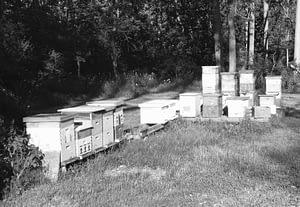 backyard bees black & white