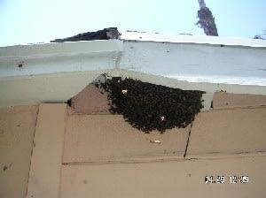 Bee swarm under eave